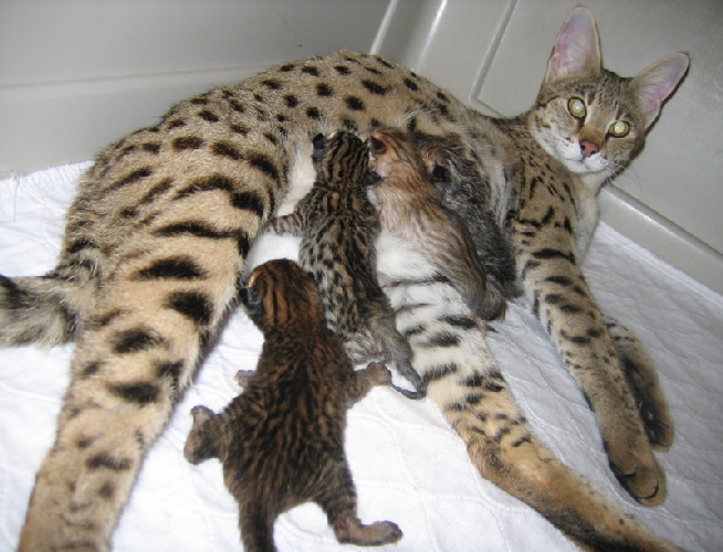 Savannah kittens from AJSavannahs