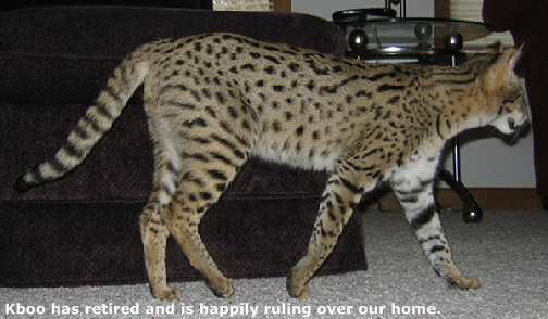 Savannah Cats and Savannah Kittens, Savannah Cat Breeder